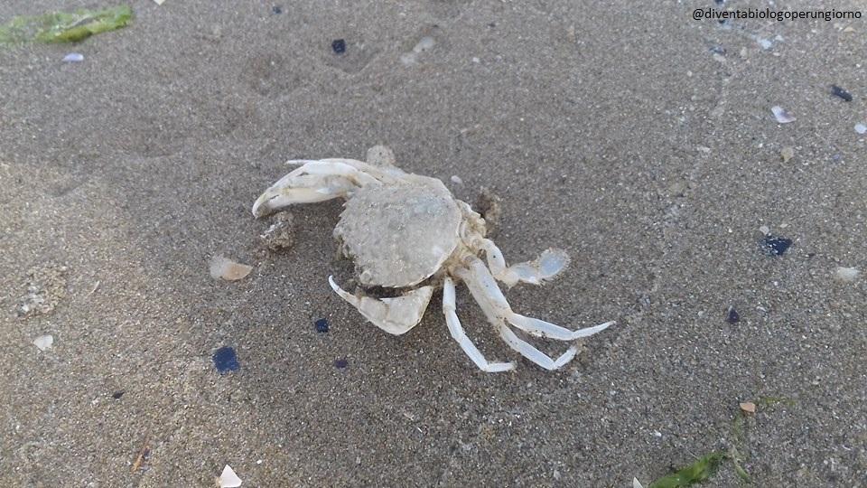 crostacei artropodi del mare