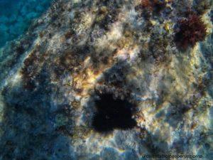 riccio di mare